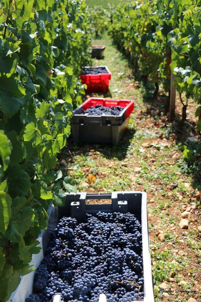 bacs plastique bicolores pour raisins et transport de la vendange
